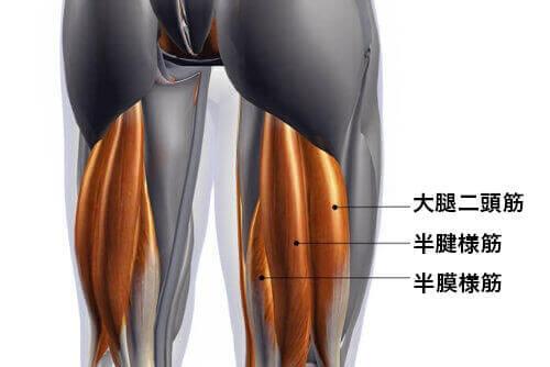 ハムストリングス 筋肉の構造