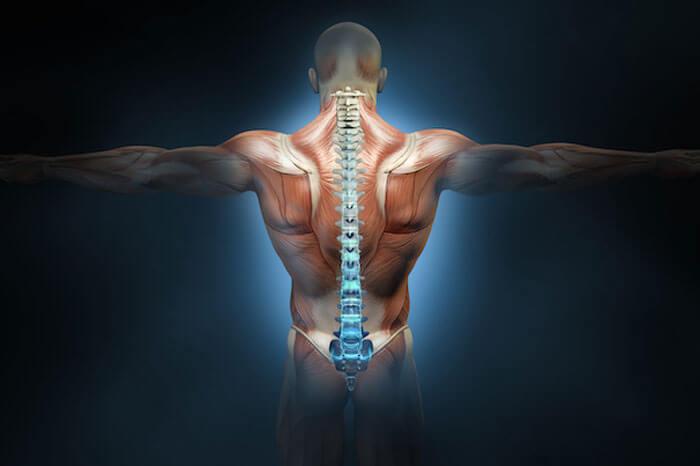 斜め懸垂で鍛えられる筋肉