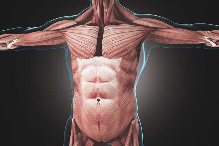 股関節から上の部分までの「胴体の部分」のことを言います。