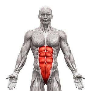 体幹部の筋肉