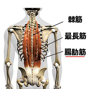 腸肋筋(ちょうろくきん)